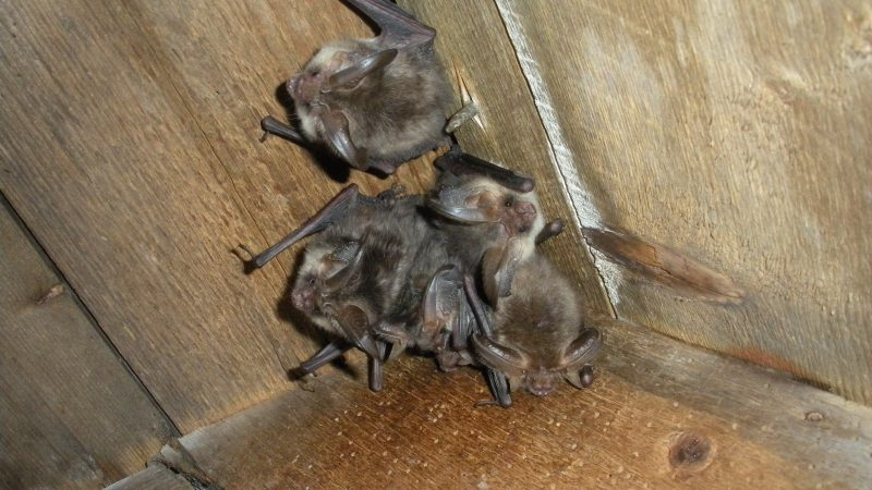 Why You Should Get Bat Surveys Done Before Moving In
